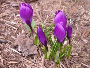 Spring_crocus